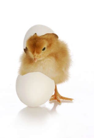 chick hatching - cute newborn chick coming out of the egg on white background Banque d'images