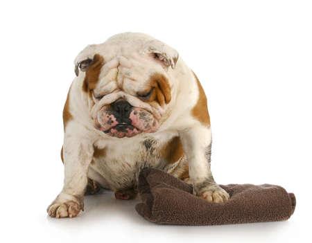 Perro malo - barro sucio inglés bulldog esperando para obtener un baño