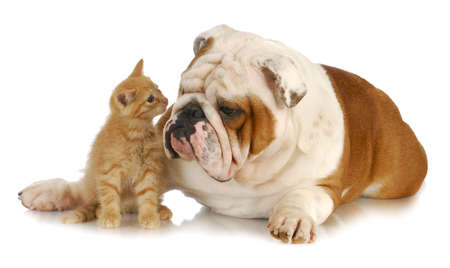 kitten and english bulldog nose to nose with reflection on white background Stock Photo