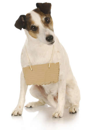 dog with a message - jack russell terrier with a blank sign around his neck