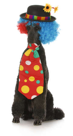 standard poodle dressed up in a clown costume on white background