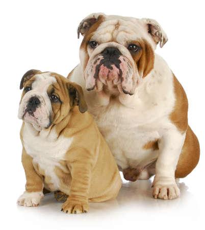 Perros de padre e hijo - dos inglés bulldogs sentado sobre fondo blanco Foto de archivo - 9534191