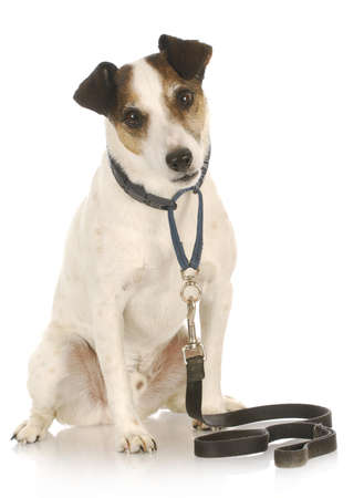 dog on a leash - jack russel terrier waiting to go for a walk on white background Imagens