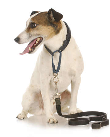 dog walk - jack russel terrier wearing leash and collar waiting to go for a walk