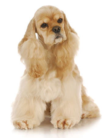 adorable cocker spaniel sitting with reflection on white background