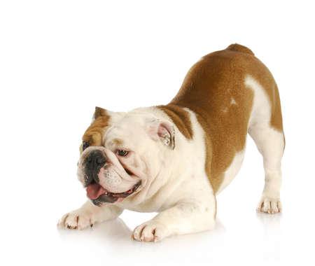 Speelse hond - Engels bulldog met zwerver omhoog in de lucht in speelse houding Stockfoto - 9623039