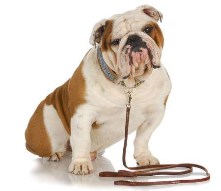 perro atada - bulldog inglés sentado con correa y collar