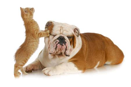 cat and dog - kitten climbing on english bulldog with reflection on white background Stockfoto