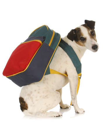 dog school - jack russel terrier wearing backpack on white background