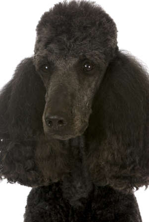 standard poodle portrait - black male champion on white background