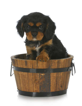 cute puppy - cavalier king charles spaniel sitting in wooden bucket on white background Stock Photo - 10032229