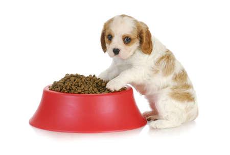 摂食犬 - 無頓着なチャールズ王 spaniel 完全犬のフードボウルに座って 写真素材