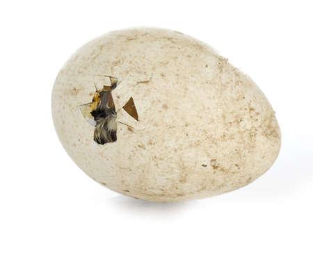 newborn turkey hatching isolated on white background Stock Photo