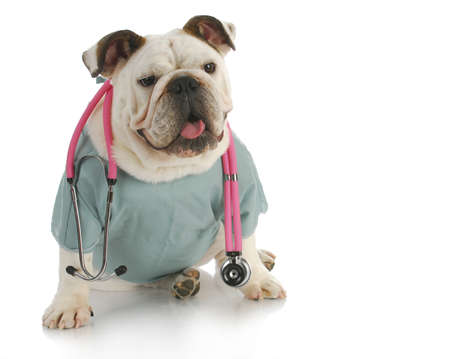 veterinary care- english bulldog doctor with stethoscope 免版税图像