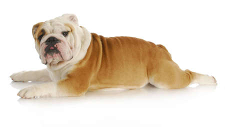 dog stretched out laying down - english bulldog - 2 years old Stock Photo