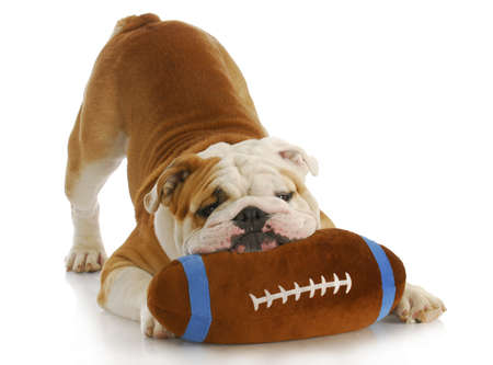 playful dog - english bulldog with stuffed football playing on white background
