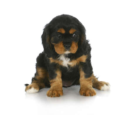 cute puppy - black and tan cavalier king charles spaniel puppy sitting - 6 weeks old