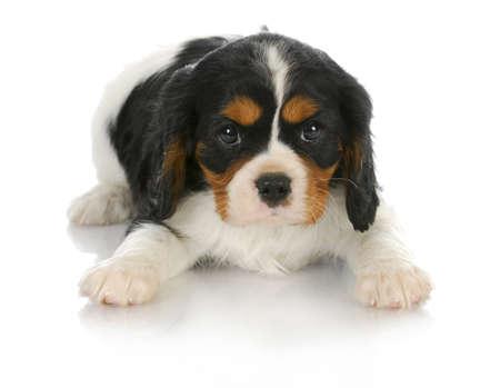 귀여운 강아지 - 트라이 컬러 호탕한 킹 찰스 스패니얼 강아지 뷰어를 찾고 내려 놓고 - 6 주 오래 스톡 콘텐츠 - 10594774