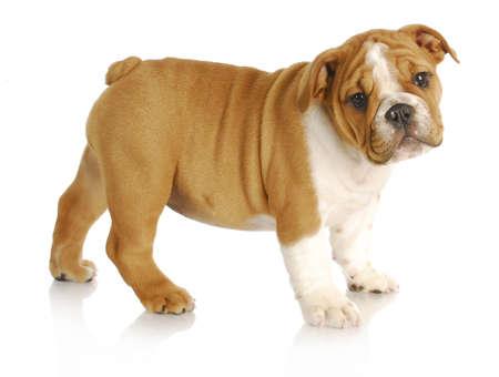 schattige puppy - Engels bulldog pup staande kijker kijken op witte achtergrond - negen weken oud Stockfoto