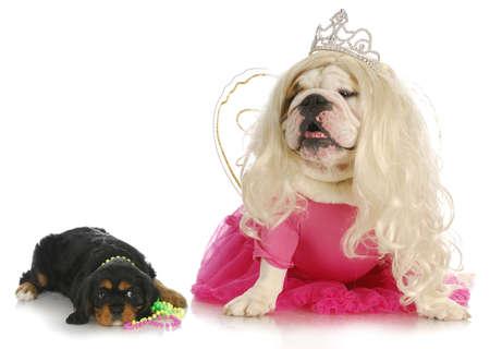 female dogs - cavalier king charles spaniel and english bulldog wearing girl clothing on white background