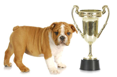 puppy with trophy -english bulldog standing beside large trophy