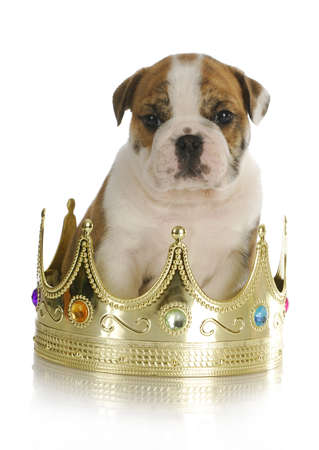 spoiled puppy - english bulldog puppy sitting inside king's crown with reflection on white background