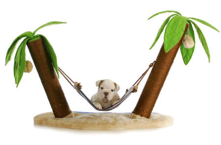 puppy on holidays - english bulldog puppy laying in hammock between two palm trees on white background