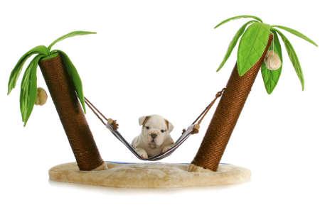 Puppy op vakantie - Engels bulldog puppy tot in hangmat tussen twee palmbomen op witte achtergrond Stockfoto - 10873073