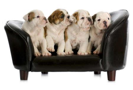 Camada de cachorros de bulldog inglés, sentada en un sofá de perro con reflexión sobre fondo blanco Foto de archivo - 10873071