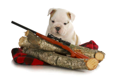 hunting dog - english bulldog puppy sitting behind wooden logs with shotgun