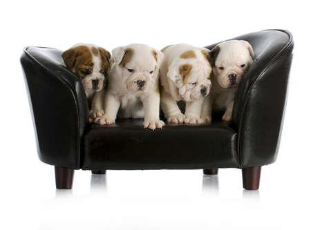 nest van engels bulldog pups zitten op een hond bank met reflectie op witte achtergrond Stockfoto
