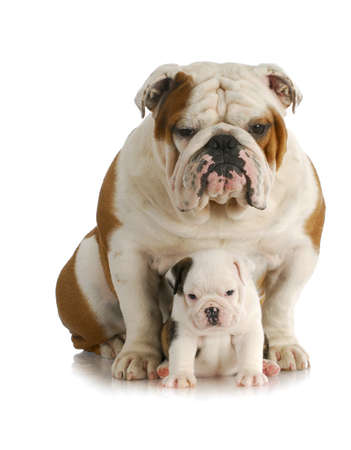 adult dog and puppy - english bulldog father and daughter sitting looking at viewer with reflection on white background Banco de Imagens