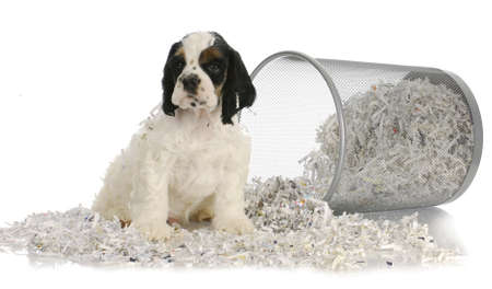 puppy sitting in recycled paper - american cocker spaniel puppy - 8 weeks old Stock Photo