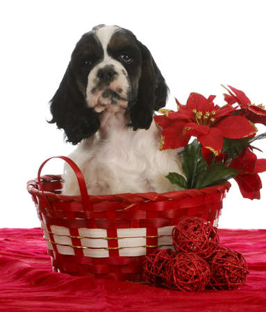 christmas puppy - american cocker spaniel sitting in a christmas basket Banco de Imagens
