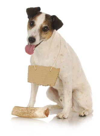 dog with bone - jack russel terrier wearing blank sign around neck sitting in front of dog bone 版權商用圖片