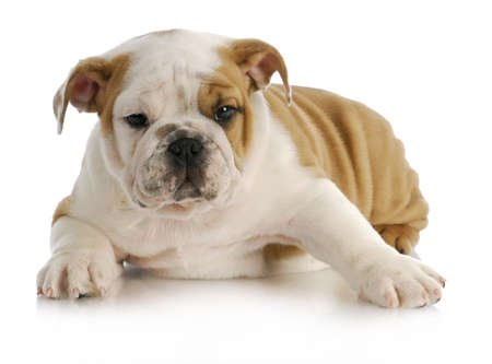 english bulldog puppy laying down with reflection on white background Stock Photo - 11589103