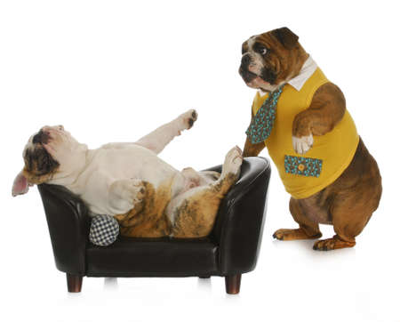 dog psychology - bulldog standing looking at another laying on a couch with reflection on white background Stock Photo
