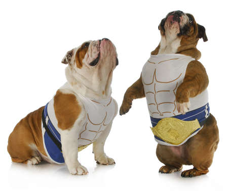 strong dog - two english bulldogs wearing muscle shirts looking up Stock Photo - 11906415