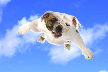 dog flying - english bulldog flying in the cloudy blue sky