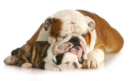 bulldog father and daughter resting together on white background