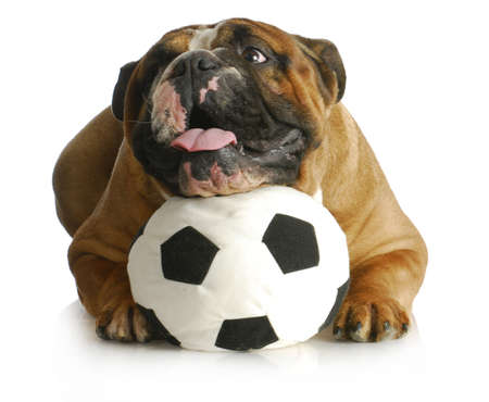 dog playing with ball - english bulldog with head laying on soccer ball on white background