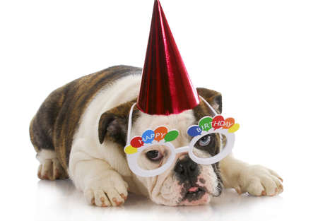 birthday puppy - english bulldog wearing party hat and silly glasses on white background Imagens