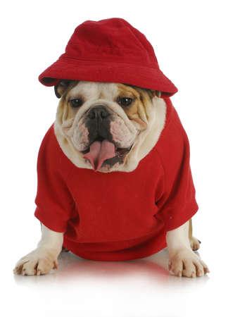 Lindo perro - Inglés bulldog vestida de rojo y tenía la camisa en el fondo blanco Foto de archivo - 12377141