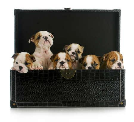 nestje pups - zes Engels bulldog puppies in een leren koffer Stockfoto
