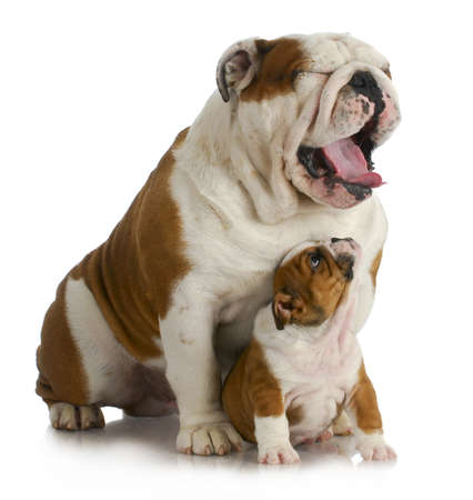 father and son dogs - english bulldog puppy looking up at adult yawing on white background