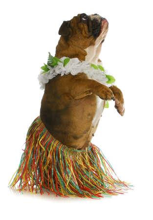hond danser - engels bulldog dragen hula op witte achtergrond Stockfoto