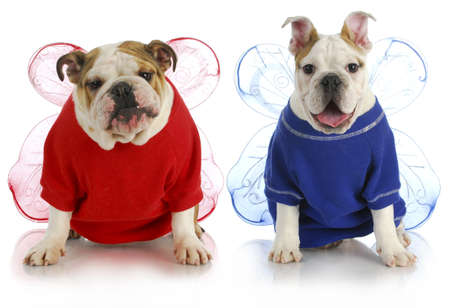 dog angels - two english bulldogs wearing angel costumes  Stockfoto