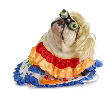 silly dog - english bulldog dressed up like a clown on white background Imagens