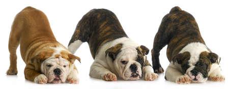 nestje pups - drie Engels bulldog puppies met bum in de lucht