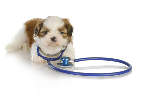 veterinary care - shih tzu with stethoscope around neck on white background